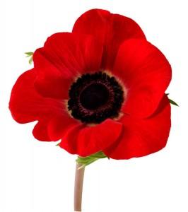 poppy-image